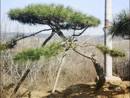造型松移栽后怎樣才能防止成活率降低
