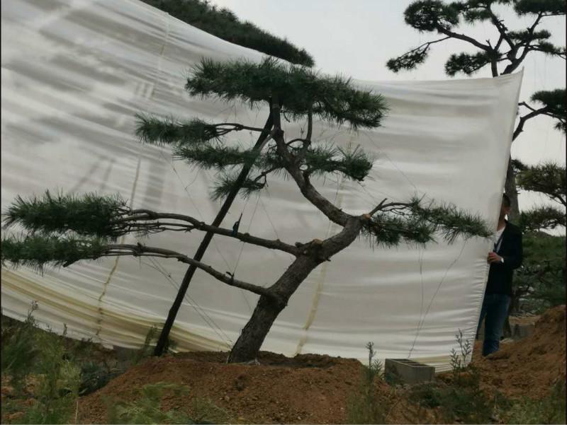 北京造型松種植之前要先深耕土地一次