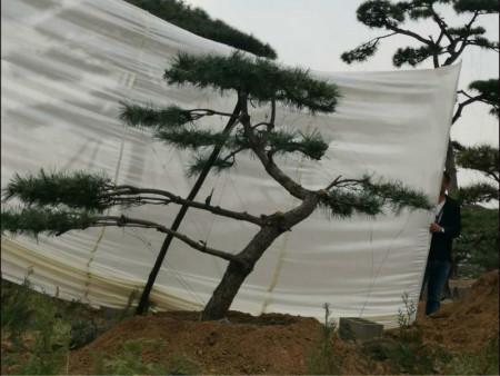 北京造型松种植之前要先深耕土地一次