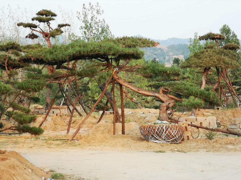 大型古松基地|造型油松