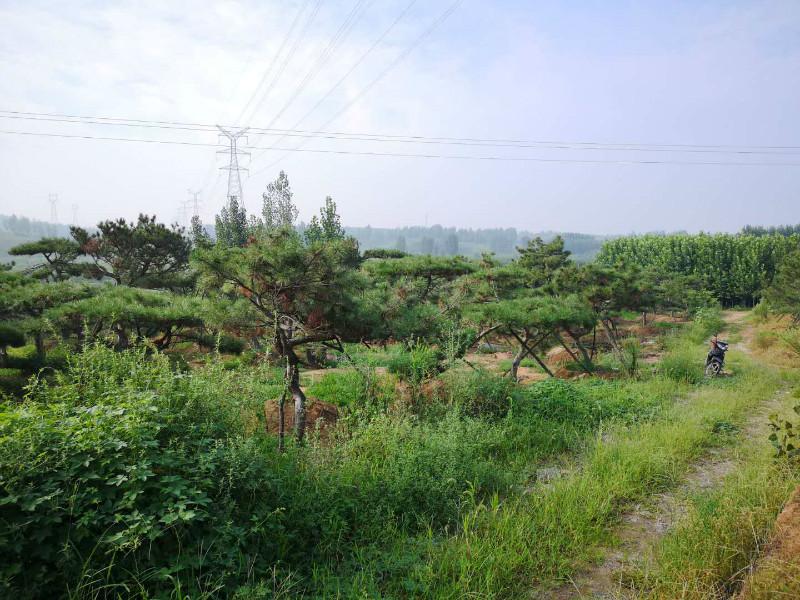 適時的早栽有助于造型黑松成活率的提升