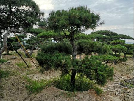扦插造型黑松先要选择树木适宜生长的土地