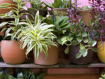 绿植销售-盆栽植物为什么会落叶