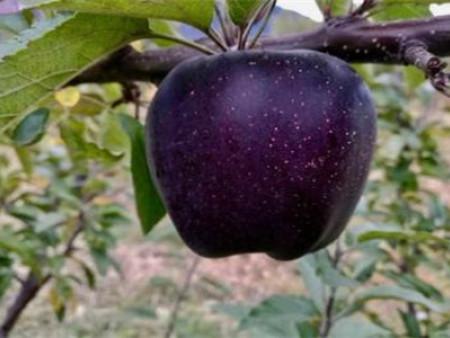 黑钻苹果苗