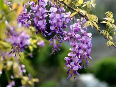 芙蓉山景区的紫藤花开了,灿若云霞,紫气东来~
