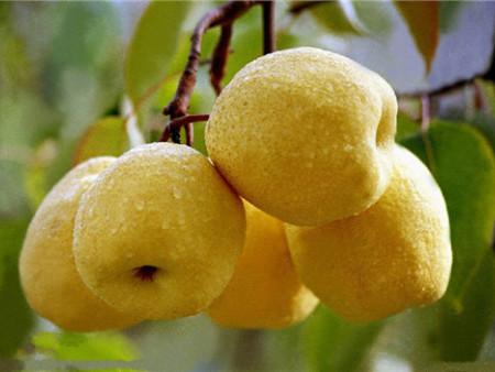 千亿国际老虎机上的水果臻品——彬州梨
