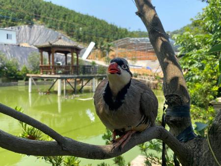 成年种鹧鸪养殖换羽注意事项