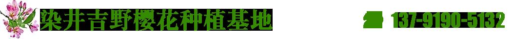染井吉野樱花青岛长顺达种植基地