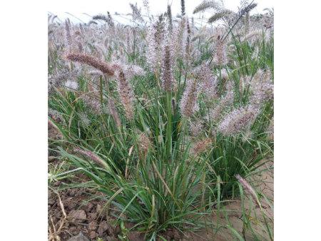 矮化紫穗狼尾草