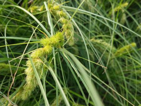 毛毛虫苔草