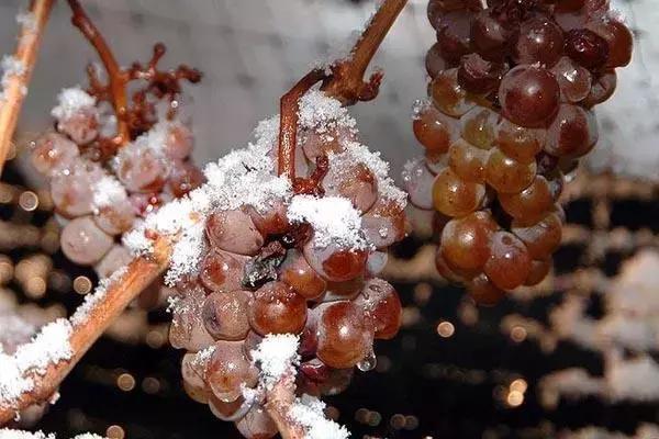 冰酒,至真至纯的葡萄酒