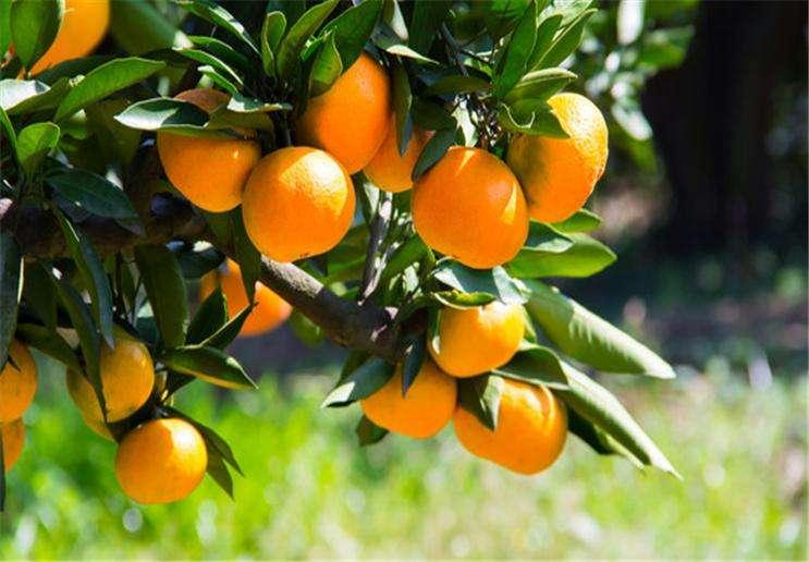 怎么能让柑橘在结果期,又大又甜又多汁,下文告诉你答案