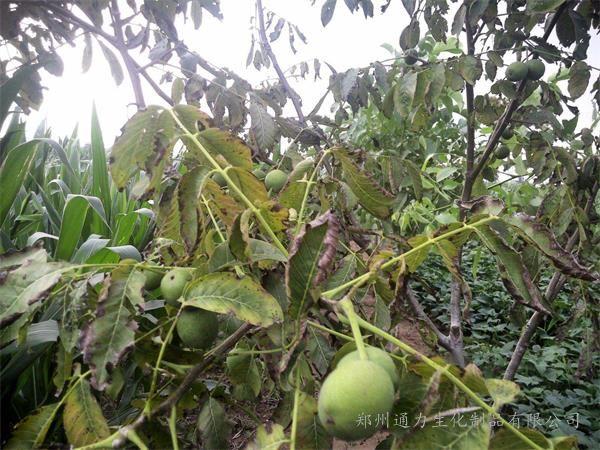 核桃树顶黄叶的原因是什么,矿源黄腐酸轻松解决核桃树黄叶问题