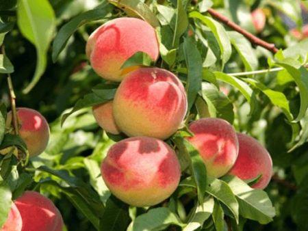 桃樹果期施什么肥?