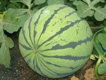 西瓜生長發育過程中要怎么施肥?