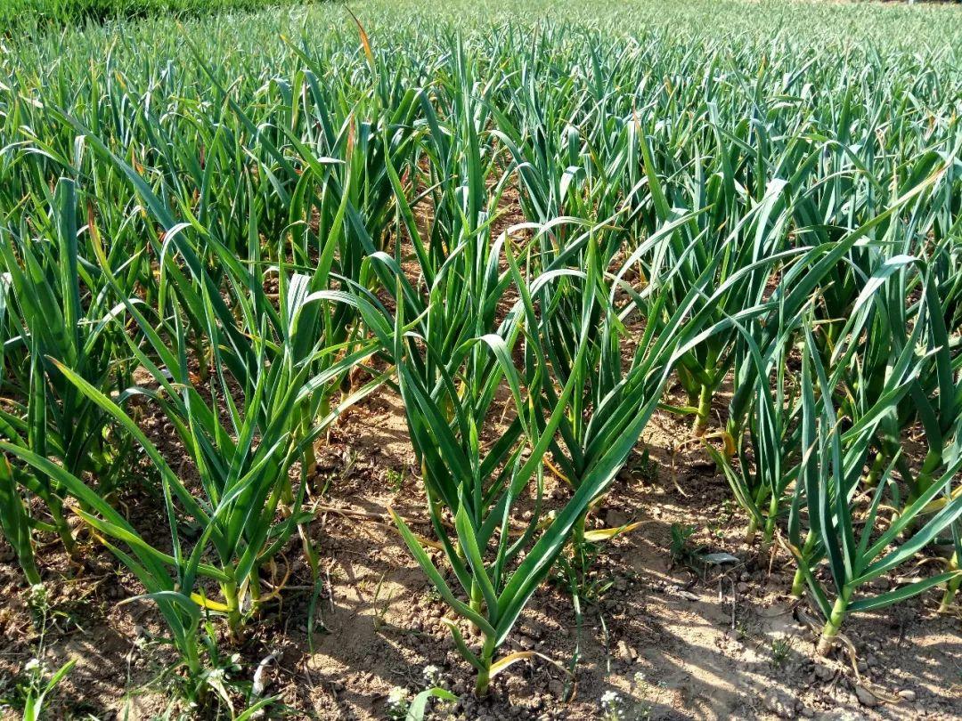 開春以后如何給大蒜追肥?用什么水溶肥