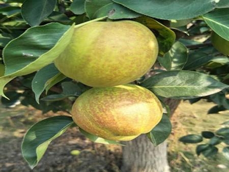 3公分梨树苗