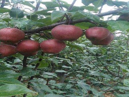 早酥红梨树苗