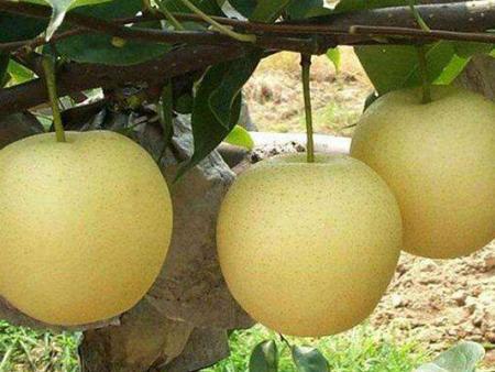 梨树苗基地