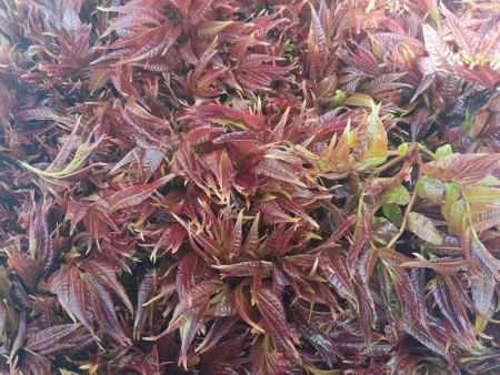 红香椿树和绿香椿树的区别有什么