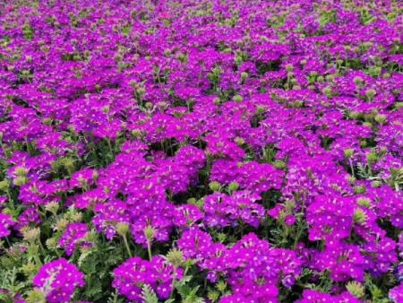 美女樱(紫)