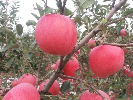 神富6号苹果
