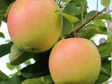 瑞香红苹果