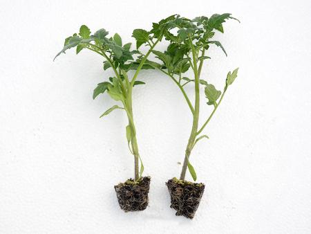 西红柿种苗