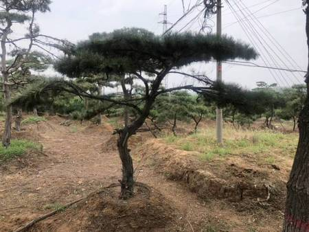 栽培造型油松需要注意的问题,时间很重要