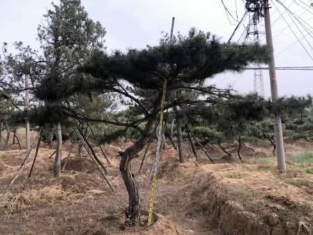 给造型松施肥需要掌握哪些技术和方法