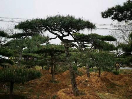 造型黑松在人工造林在保护生态环境中发挥着重要作用