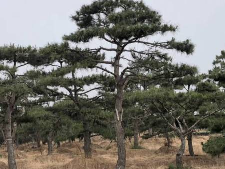 只有增强造型松的树势才会提升抵抗力