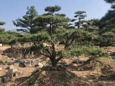 造型油松与山杏在山东地区混栽的背景