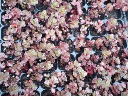 红景天穴盘苗