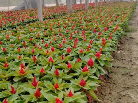 绿叶鸡冠花