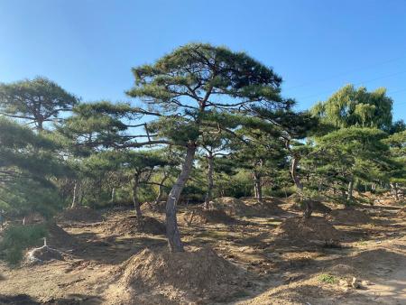 土壤温度上升可以保护造型黑松的根系