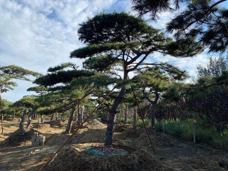 迎国庆,造型景观松的繁殖方法以播种为主