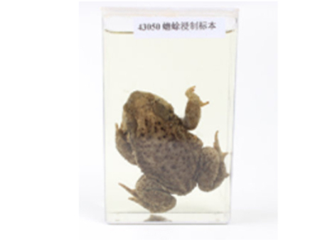 蟾蜍浸制标本