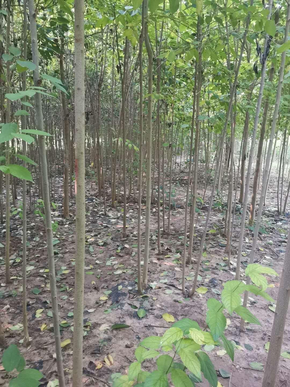 杜仲树苗栽培旺季到来,我公司大量出售1到11公分的杜仲苗