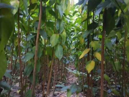 又到了栽培杜仲苗的季节,山东仲友杜仲苗种植基地为大家准备胃各种规格的杜仲树苗,公司已最低的价格服务客户
