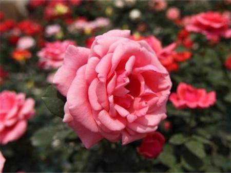 粉扇月季-大花月季