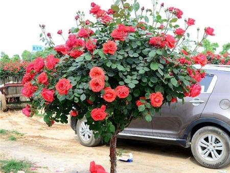 树状月季又称月季树、玫瑰树
