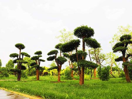 對接白蠟造型樹