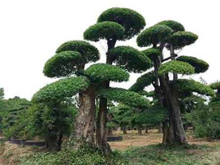 对接白蜡基地详解_如何种植出良好的树木