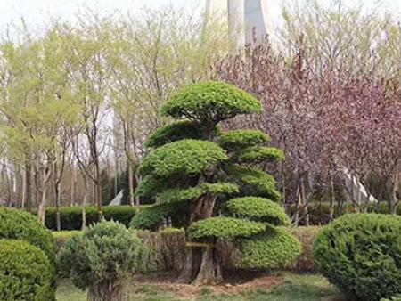 對接白蠟樹