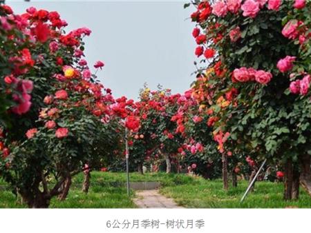 7公分树状月季,古桩月季,大型月季树批发供应
