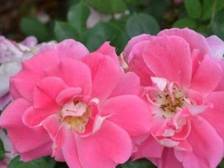 地被月季玫瑰地毯月季