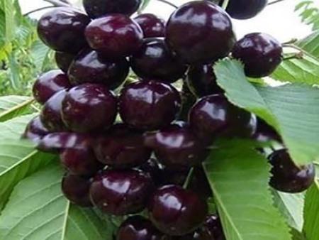黑珍珠櫻桃