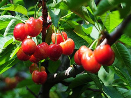 山東櫻桃樹苗種植基地