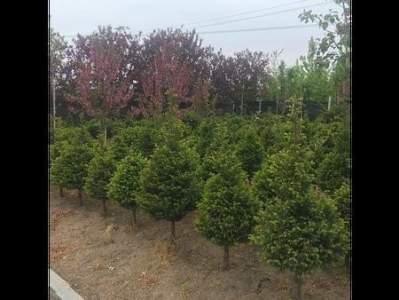 辽宁红豆杉真假区分与穴植法移栽管理都需要注意些什么?